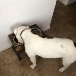 Beautiful bulldog with dog dish tray